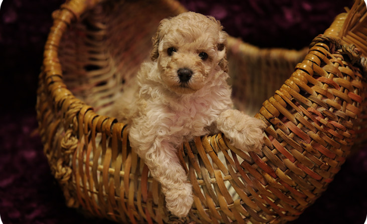 Beauregard puppy for sale