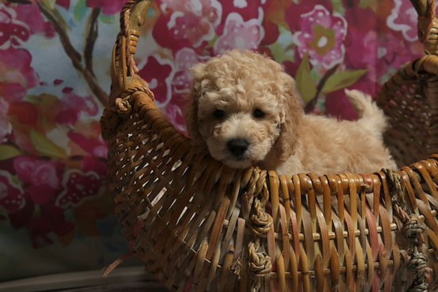 cody in basket