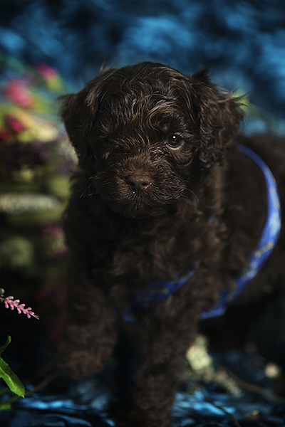 black gus puppy