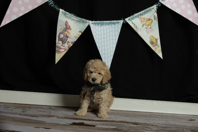 golden Winston puppy with banners