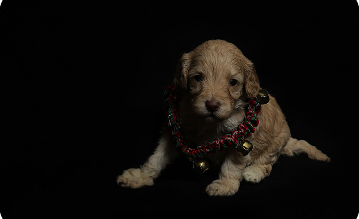 golden Isabella puppy