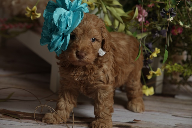 brown Annabel Breeder puppy