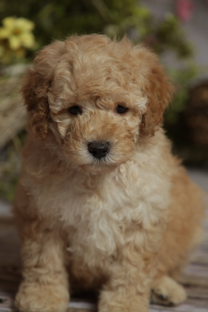 golden William Ross puppy