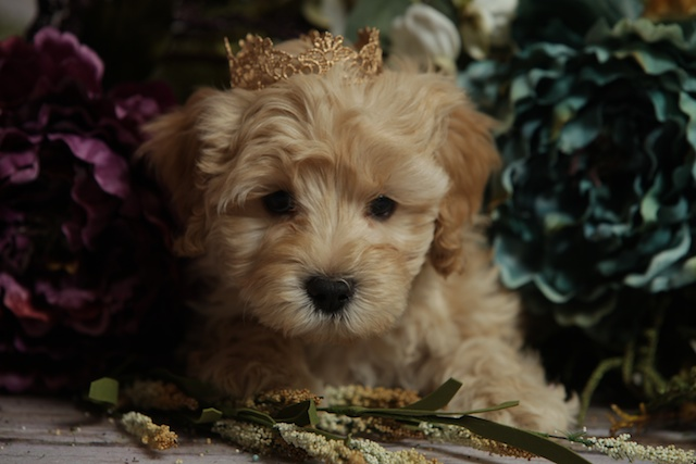 Logan puppy with crown
