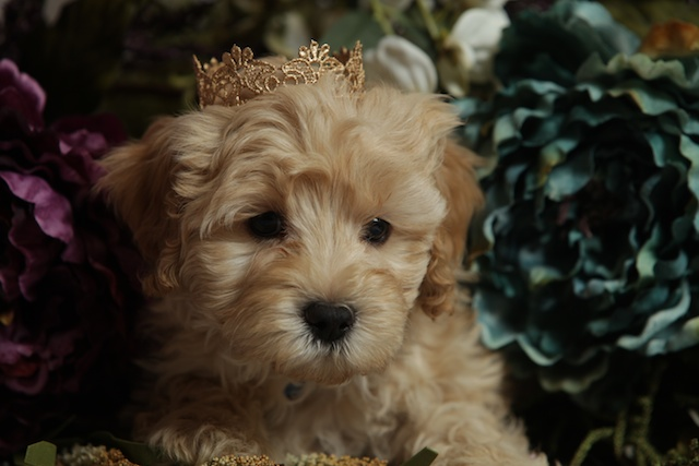 cute Logan puppy with crown