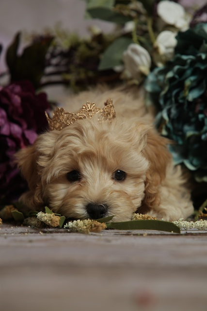 isolated Logan puppy with crown