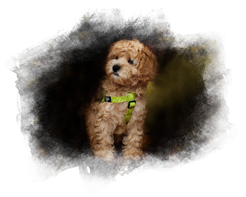 Available Pups Swinging Gate Labradoodles