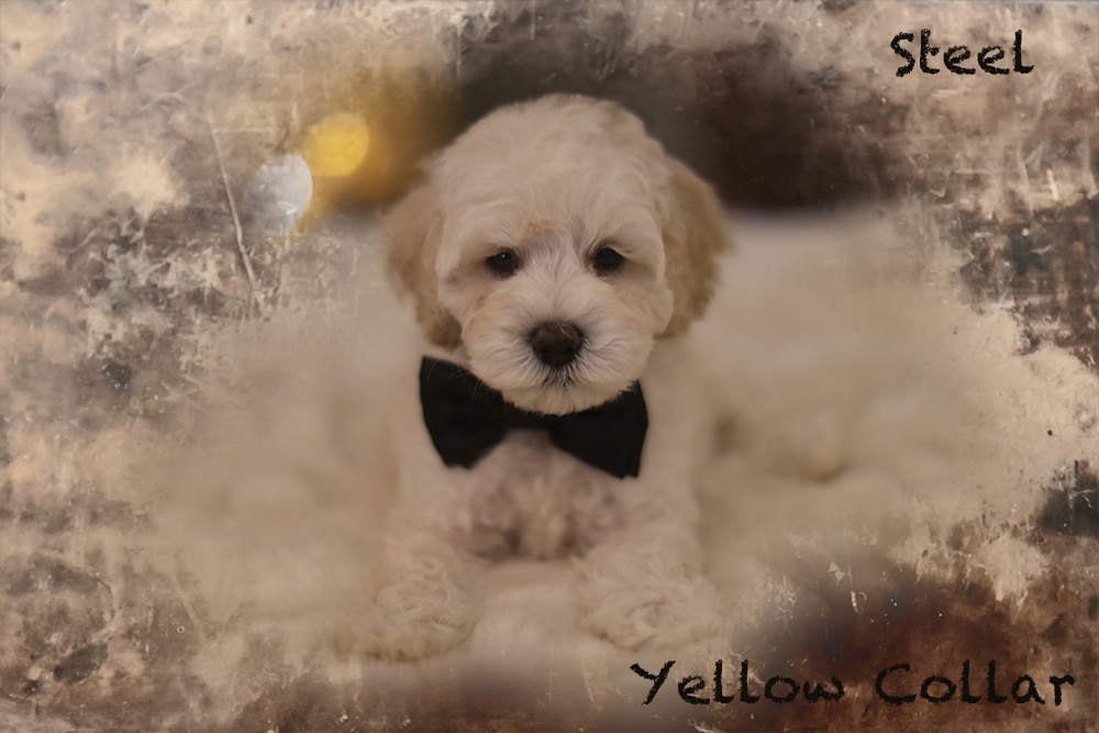 Steel-yellow puppy