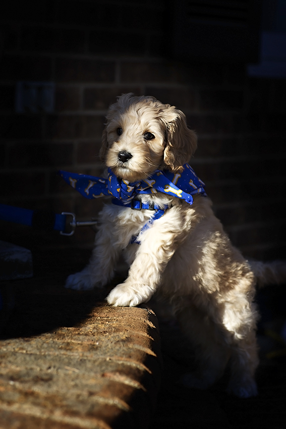 Southern Pines puppy