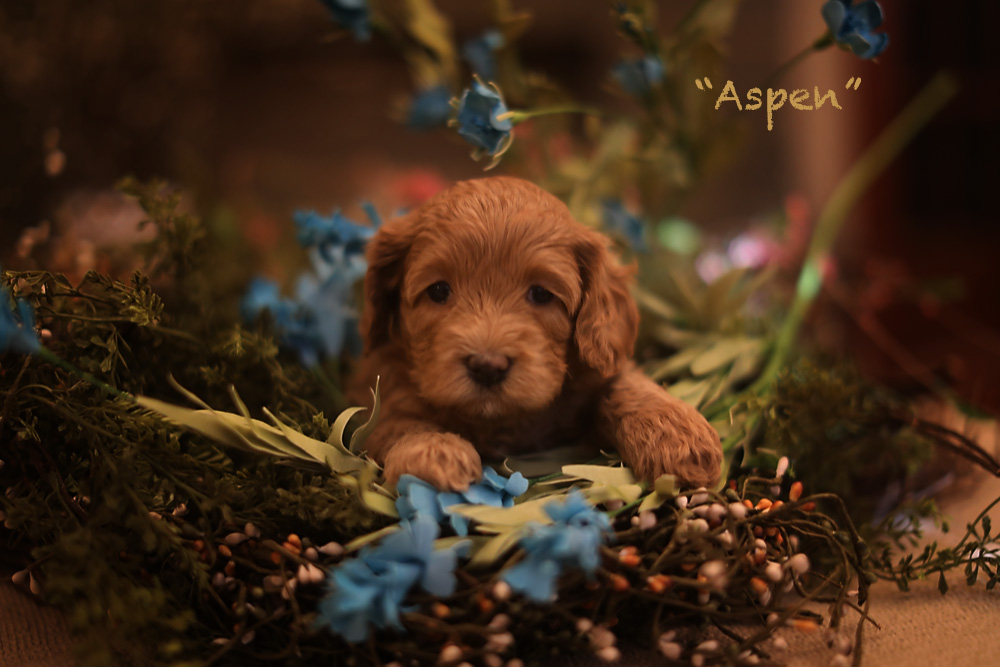 Aspen puppy for adoption