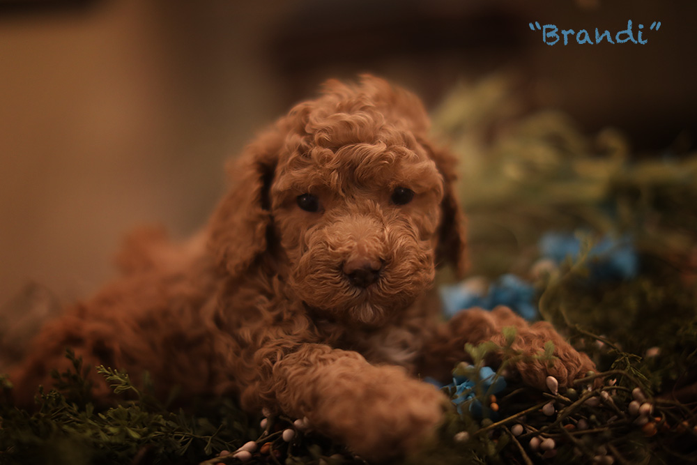 cute brandy puppy for adoption