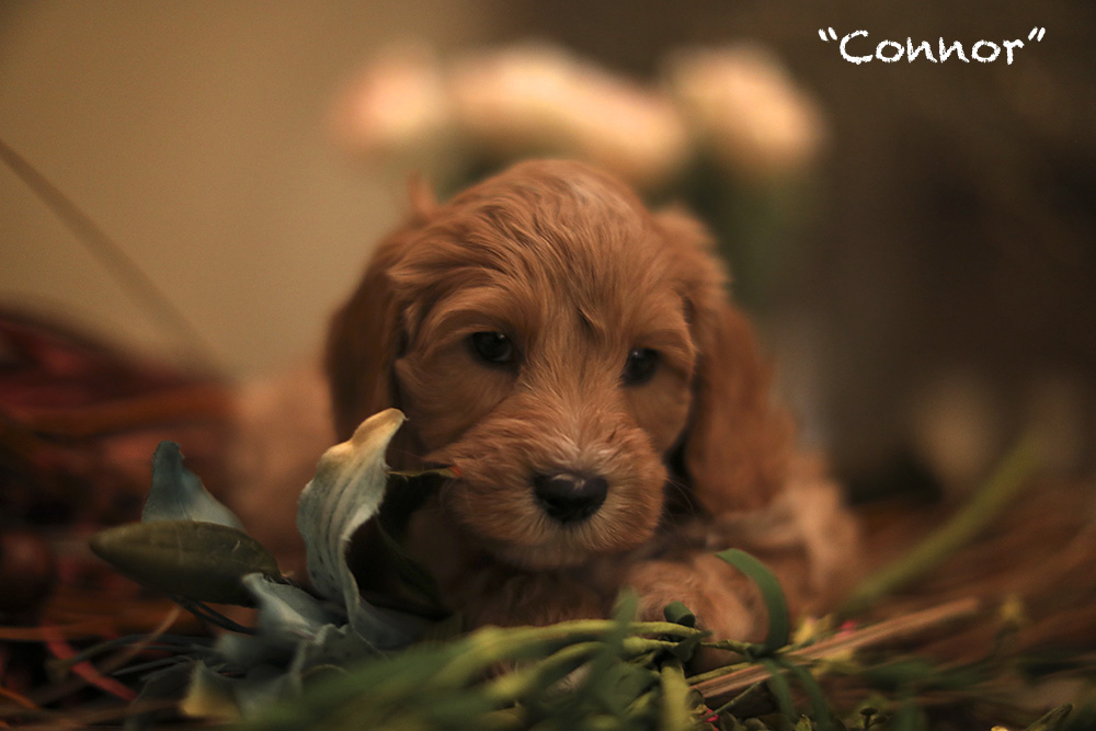Connor puppy for adoption