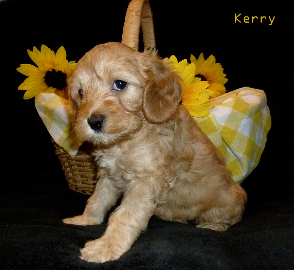 golden Kerry name puppy for adoption