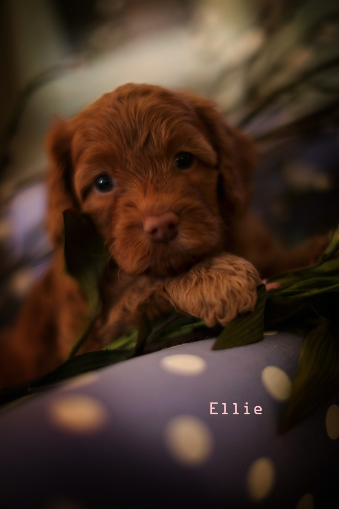 Dark brown Ellie for adoption