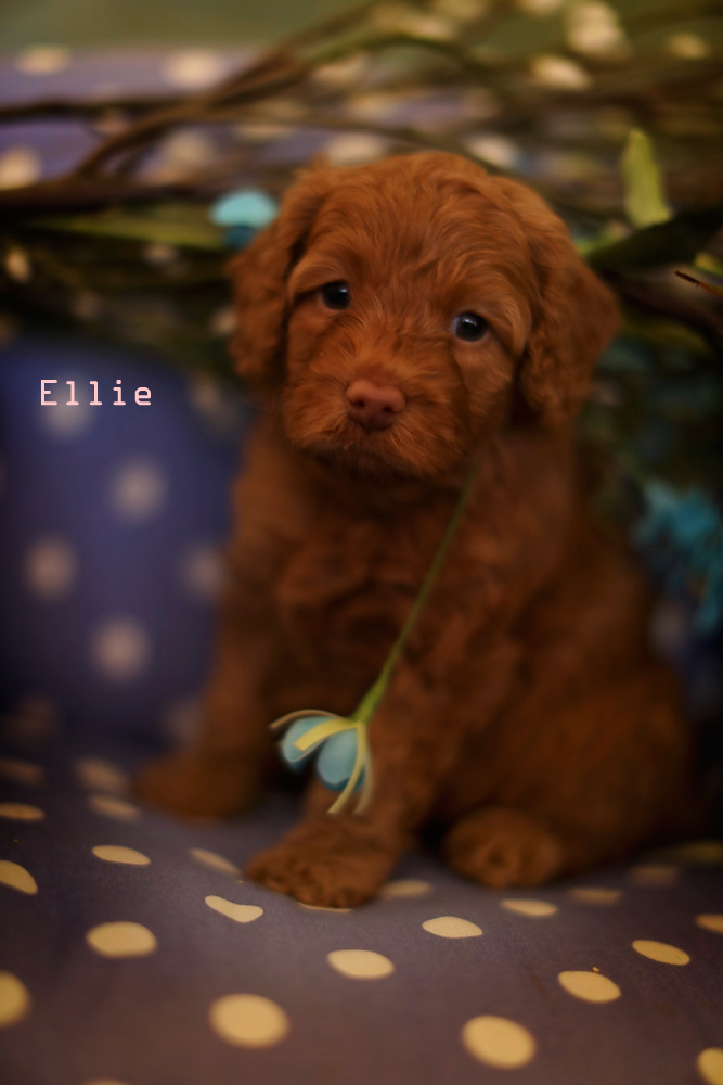 brown Ellie (Adopted)