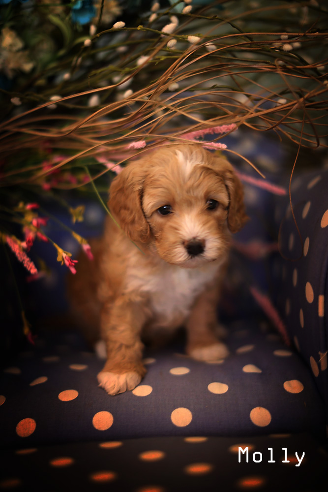 Golden puppy molly for adoption