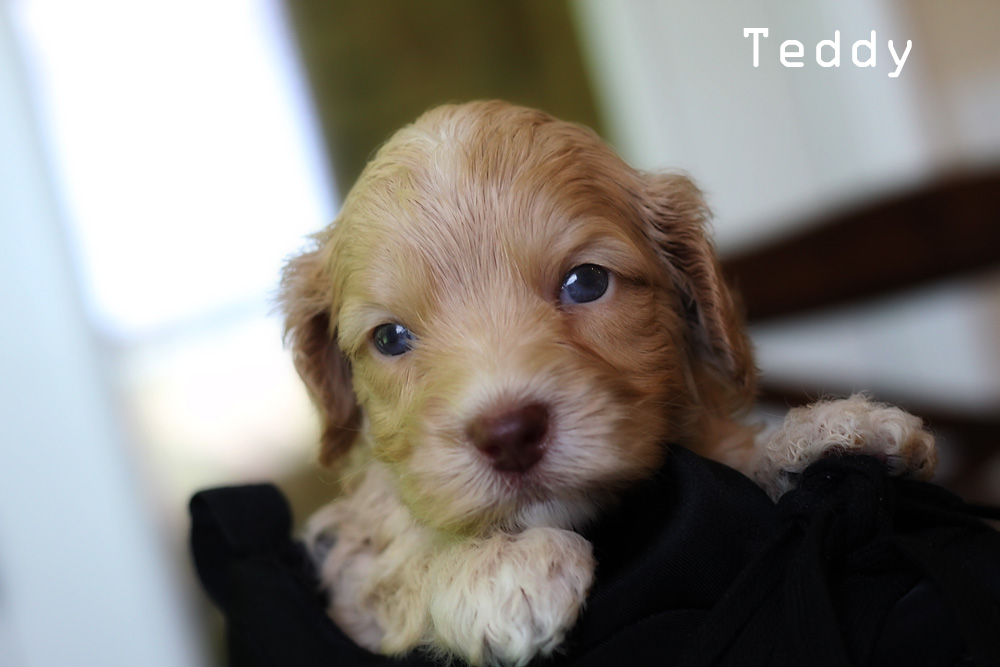 Teddy puppy