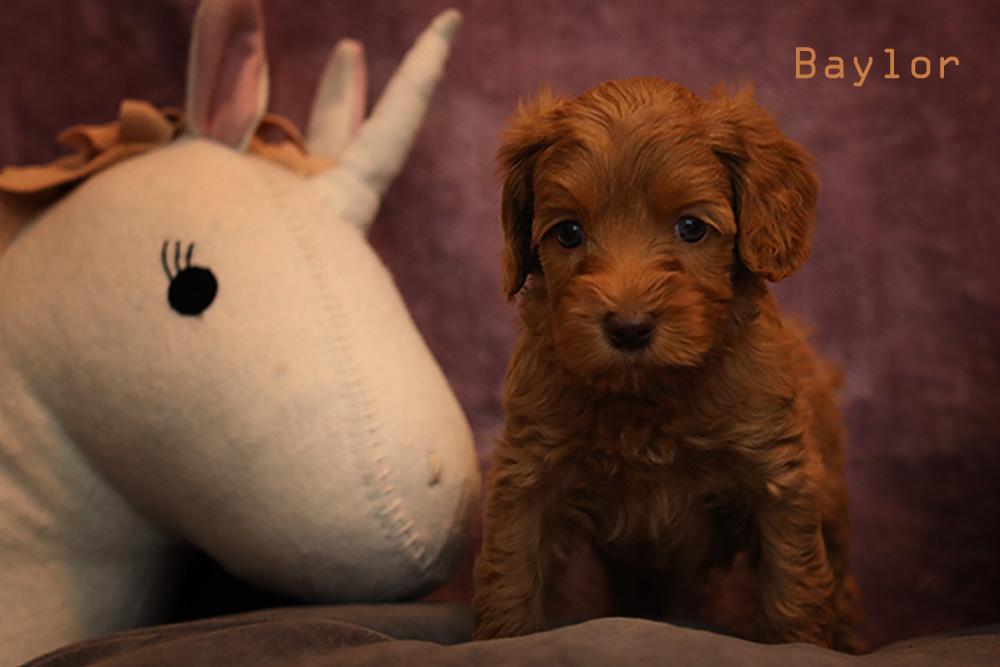 brown baylor puppy for adoption