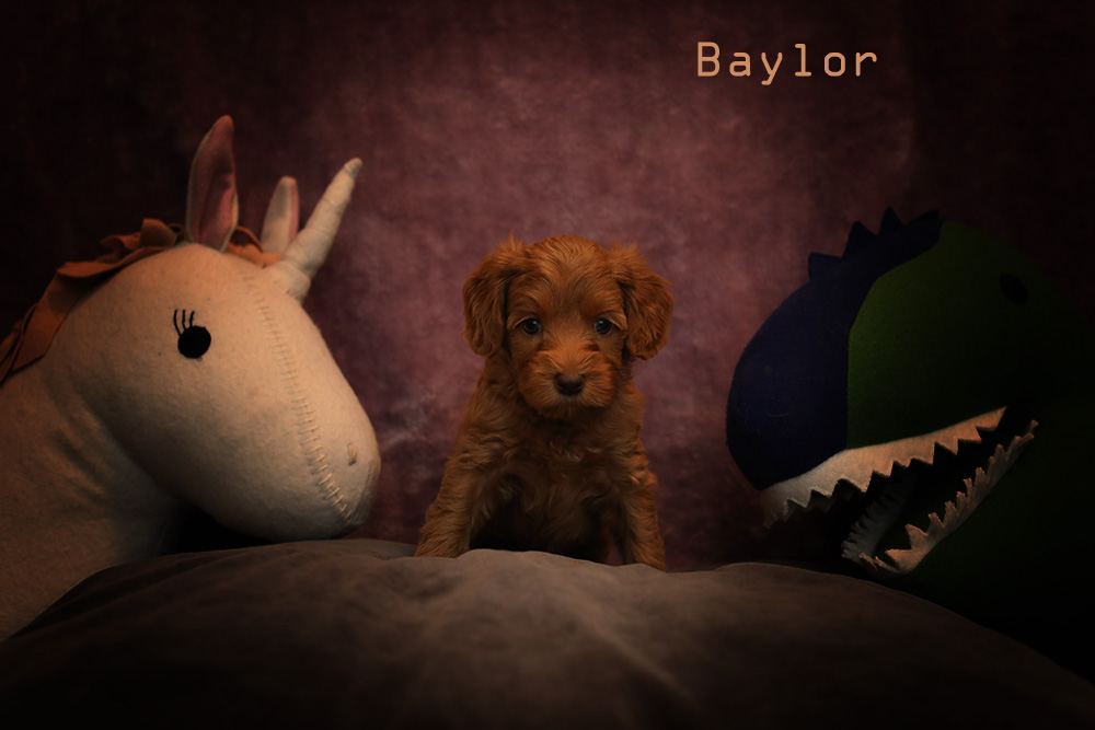 golden brown LiBaylor puppy for adoption