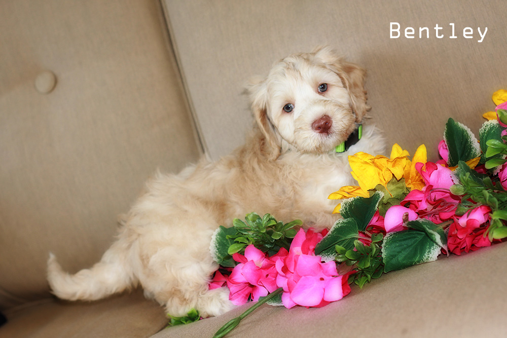 Bentleyl puppy