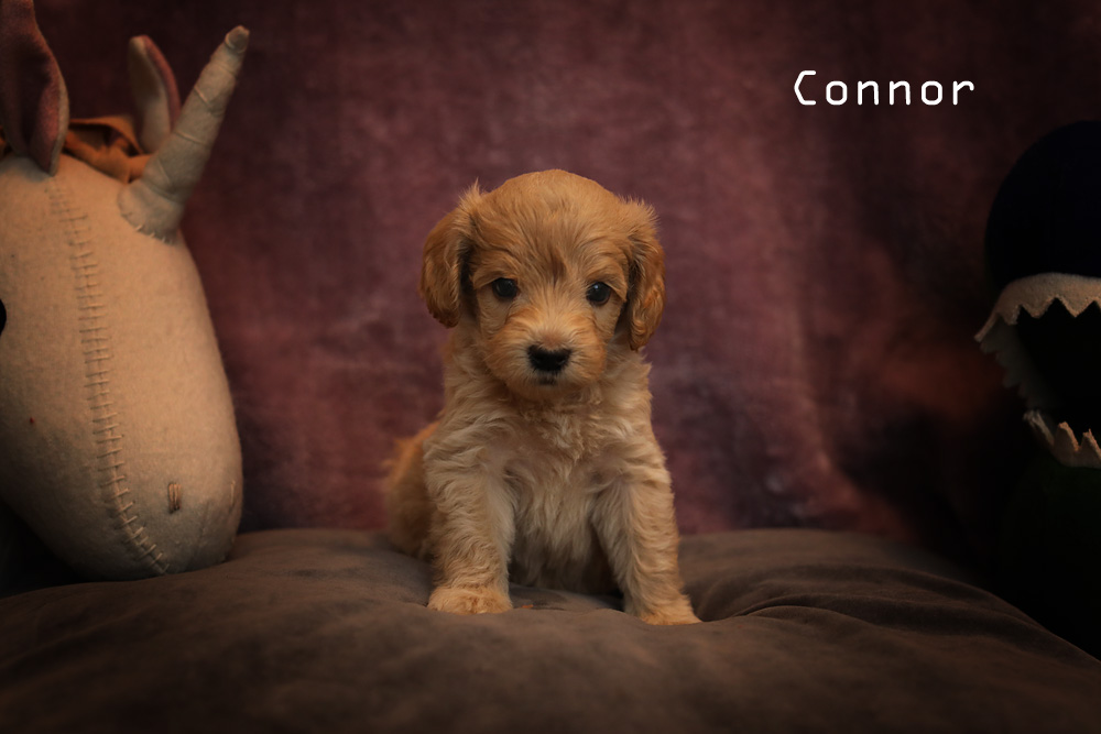 golden brown connor puppy for adoption