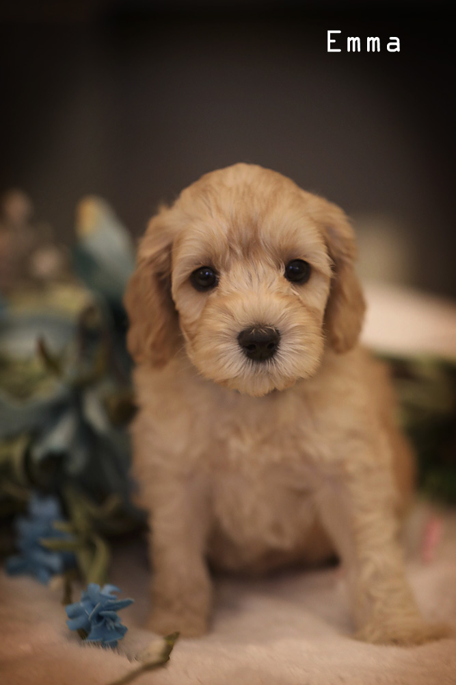 golden brown Lacy puppy for adoption