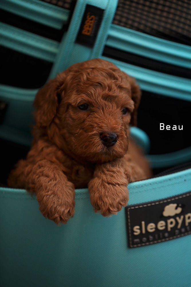 brown Beau puppy for adoption