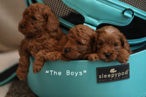 the boys beau puppies
