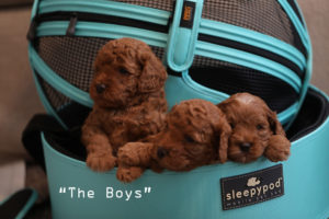 3 beau puppies in basket