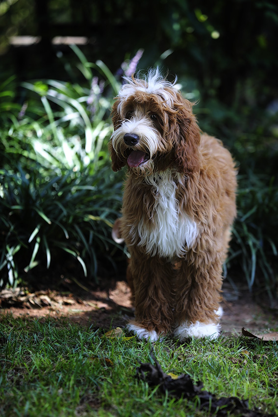 Picture is property of Swinging Gate Labradoodles[