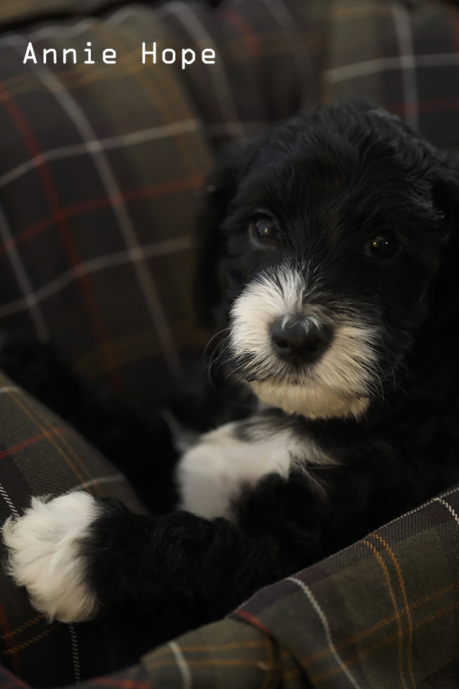 Annie-Hope Puppy for sale