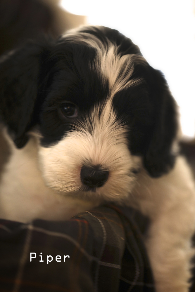 Pipercc Puppy for sale