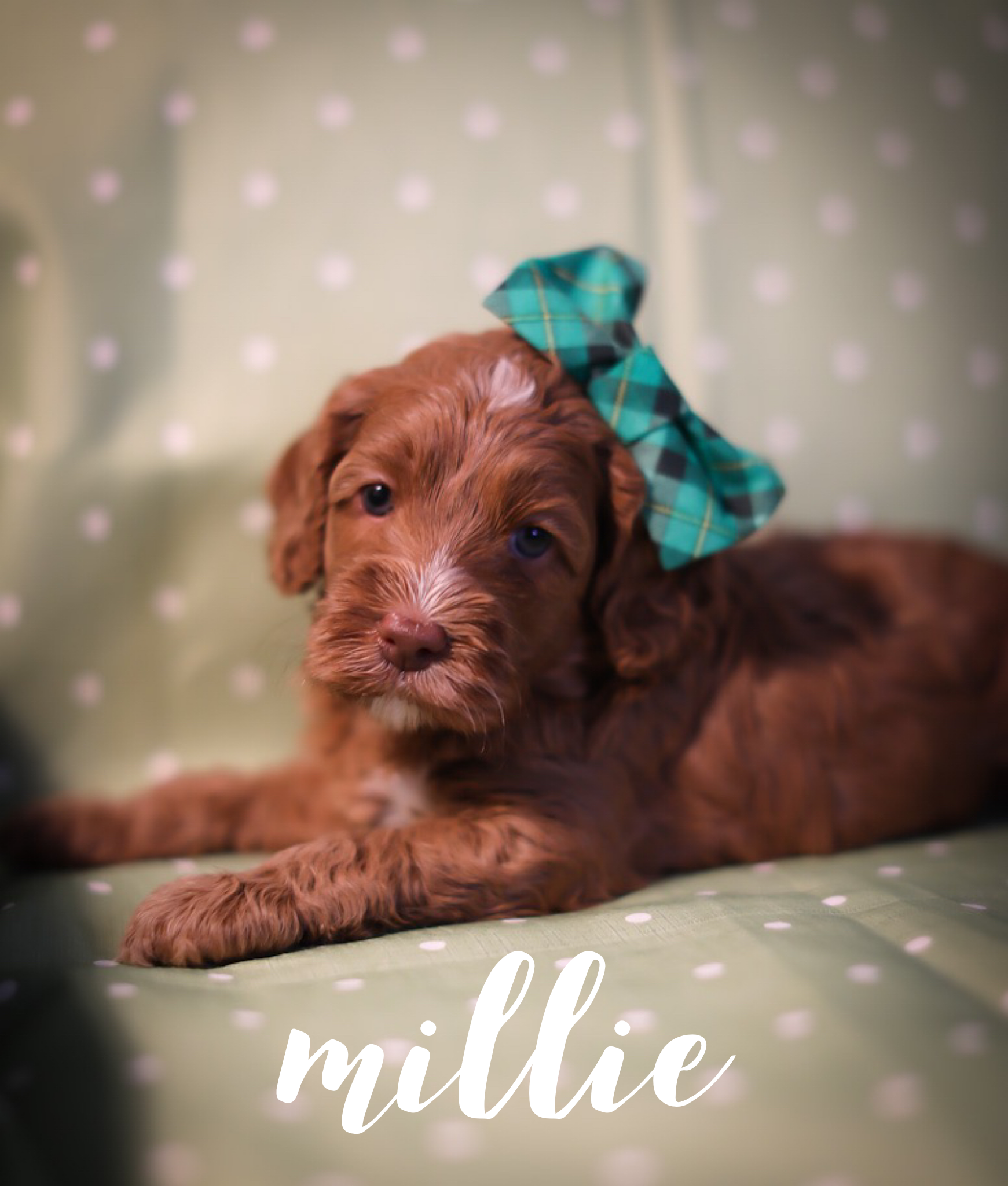 Millie waiting for adoption