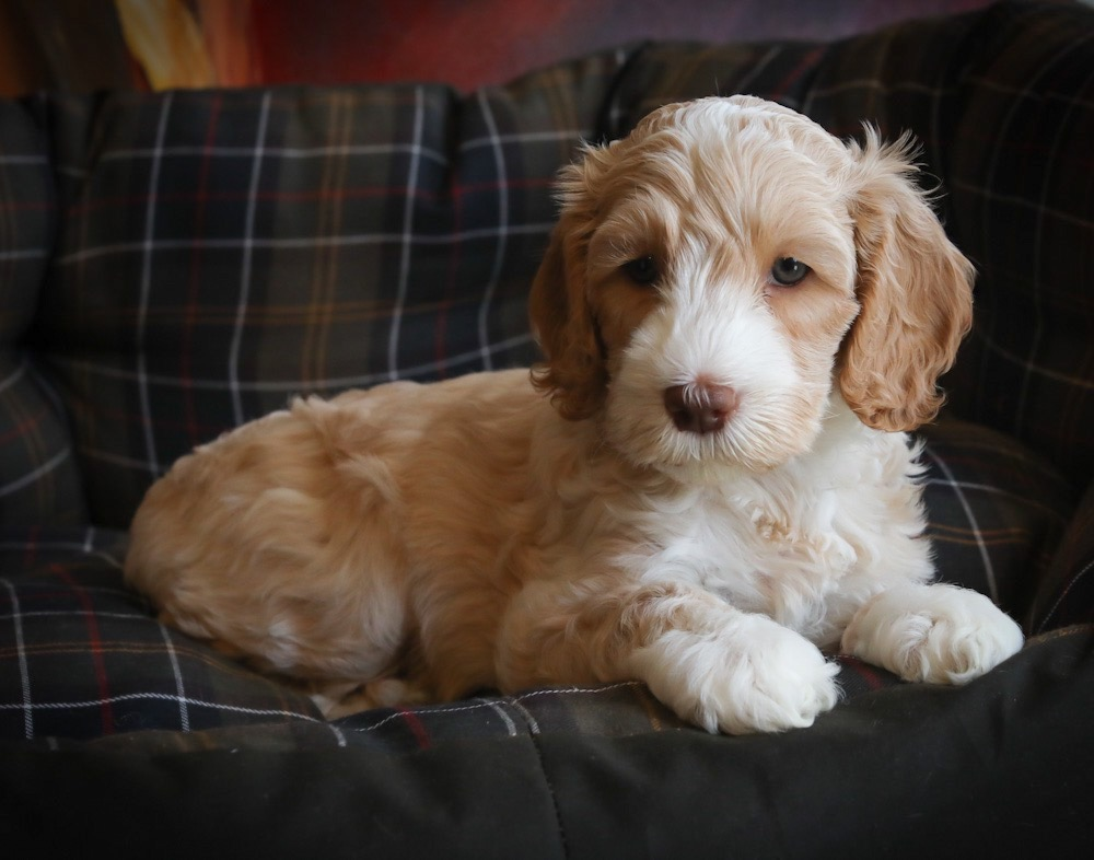 King George Pups for adoption