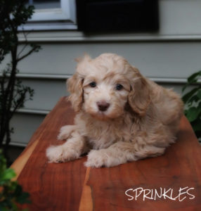 "Australian ""Multi-Generational"" Labradoodle Puppies"