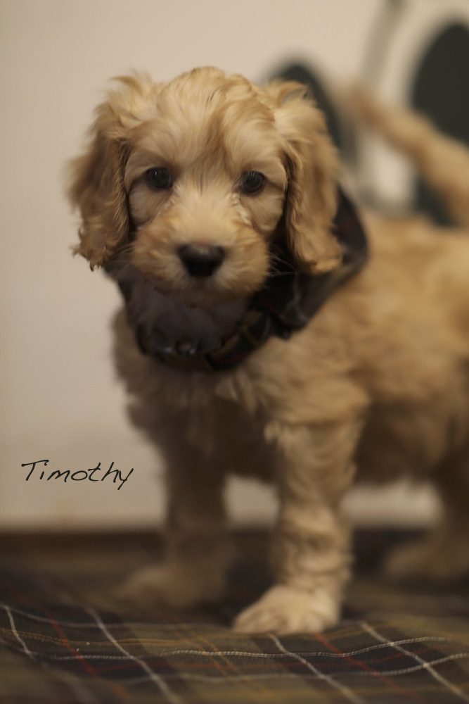 Timothy male puppy for adoption