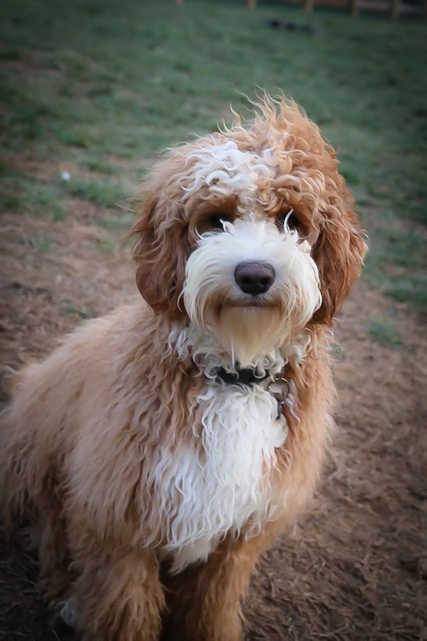 Swinging-Gate-King-Louie-Australian-Labradoodle