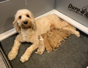 Newborn Labradoodle puppies
