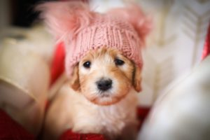 Cute Labradoodle puppy