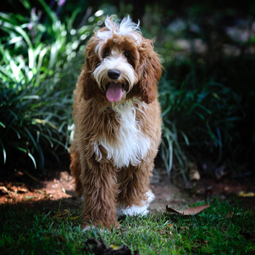 Swinging Gate King George - Labradoodle Male available for stud service NC